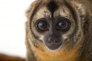 Nancy Ma's night monkey (Aotus nancymaae) at the Dallas World Aquarium.
