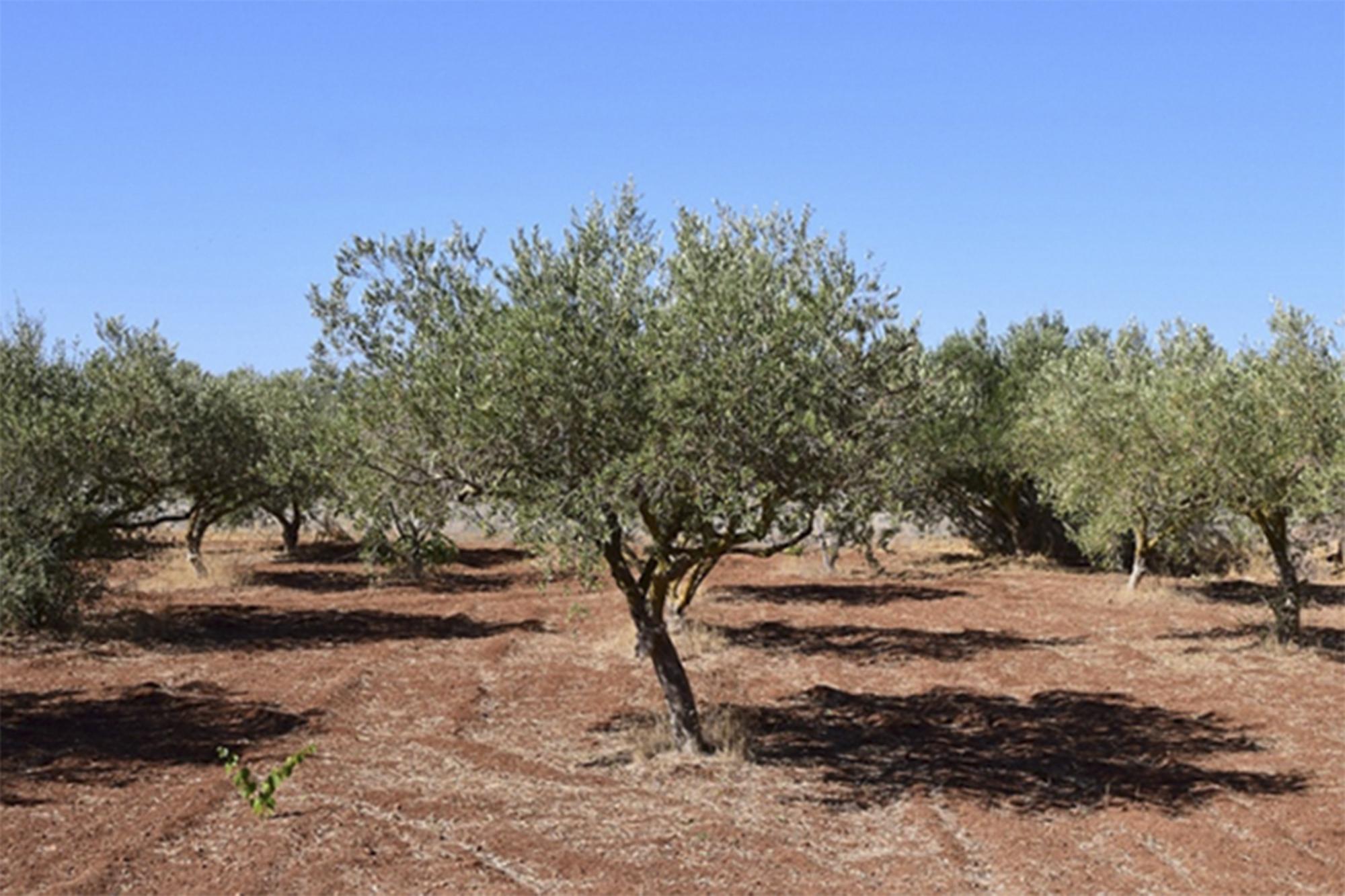 Vários partidos exigem maior regulamentação do olival intensivo no Alentejo. Fonte: pan.com.pt